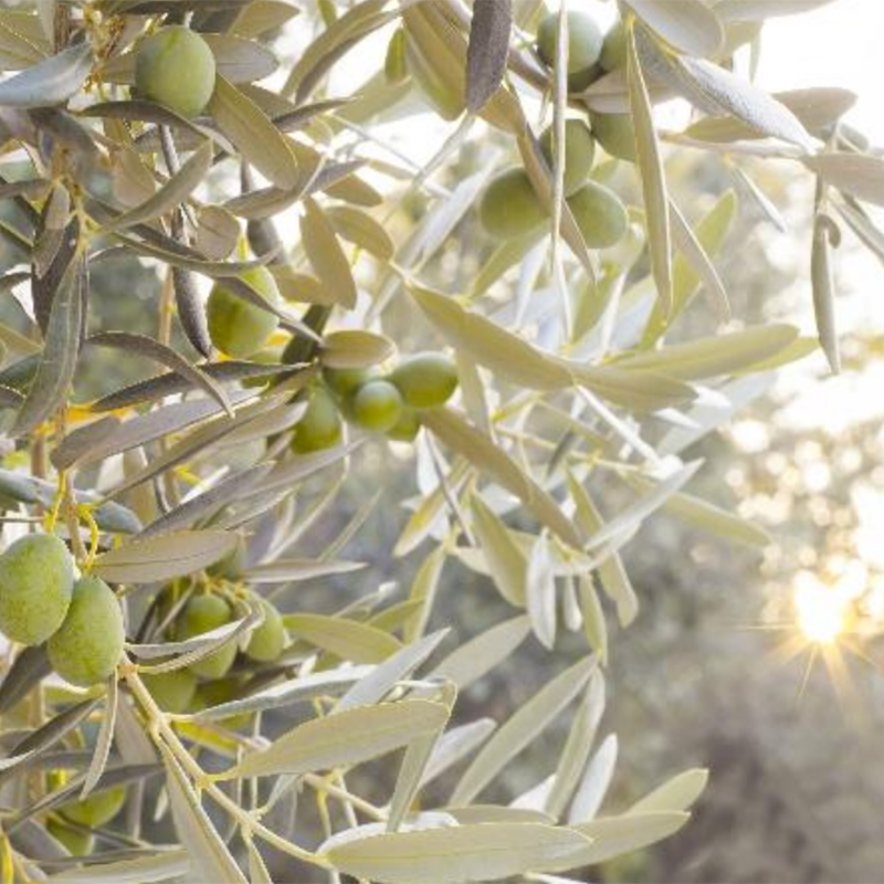 Oleica – Olive Solutions